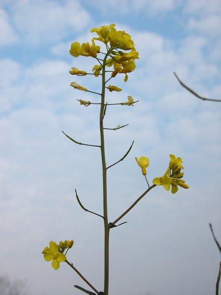 Brassica oleracea L.