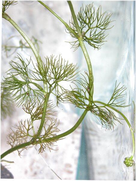 Ranunculus trichophyllus Chaix s.l.