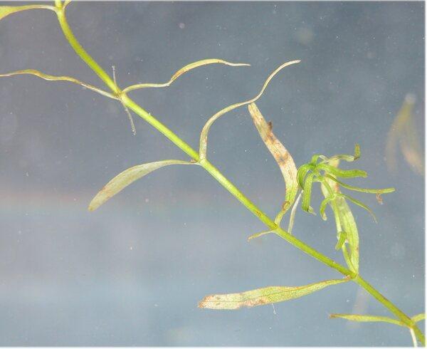 Callitriche obtusangula Le Gall