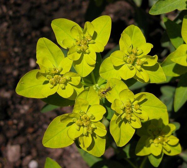 Euphorbia verrucosa L.