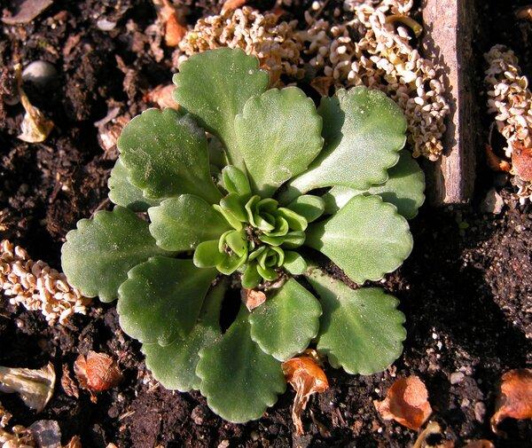Saxifraga cuneifolia L. subsp. cuneifolia