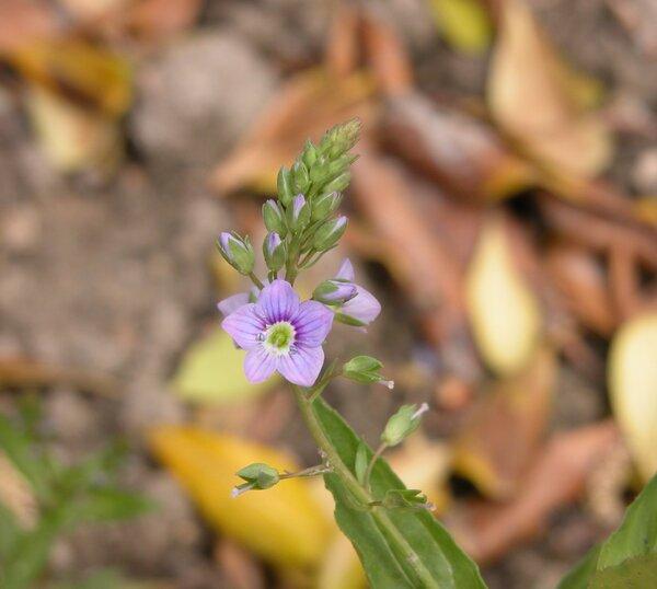 Veronica catenata Pennell subsp. catenata