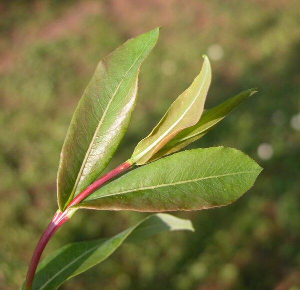 Salix amplexicaulis Bory