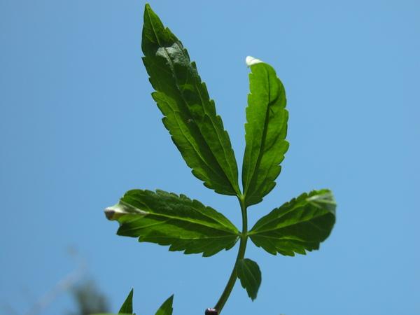 Cardamine bulbifera (L.) Crantz
