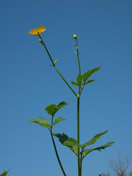 Ranunculus repens L.