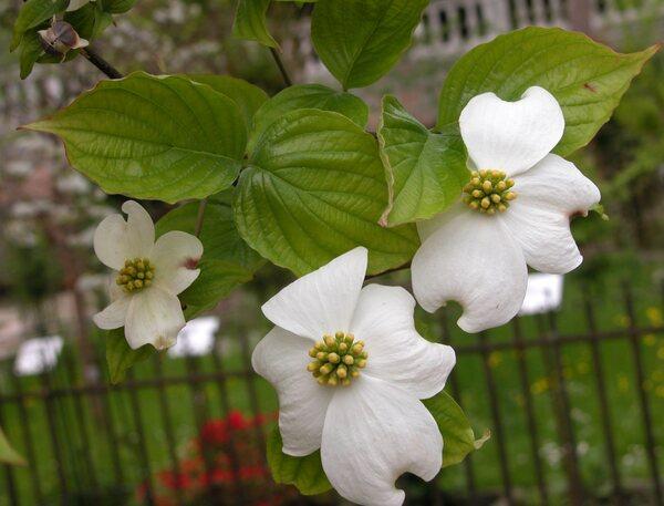 Cornus florida L. 'White Cloud'