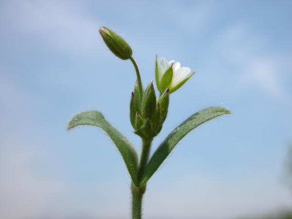 Cerastium brachypetalum Desp. ex Pers. subsp. brachypetalum