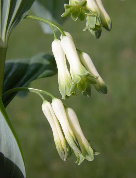 Polygonatum multiflorum (L.) All.