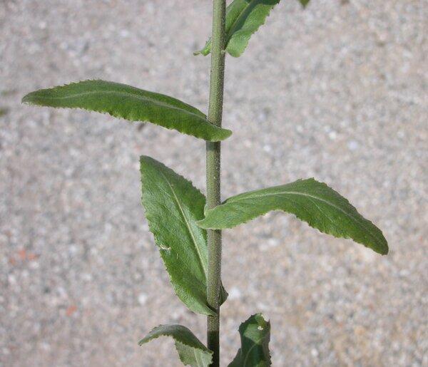 Pseudoturritis turrita (L.) Al-Shehbaz