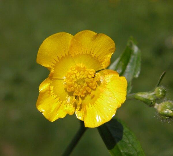 Ranunculus velutinus Ten.