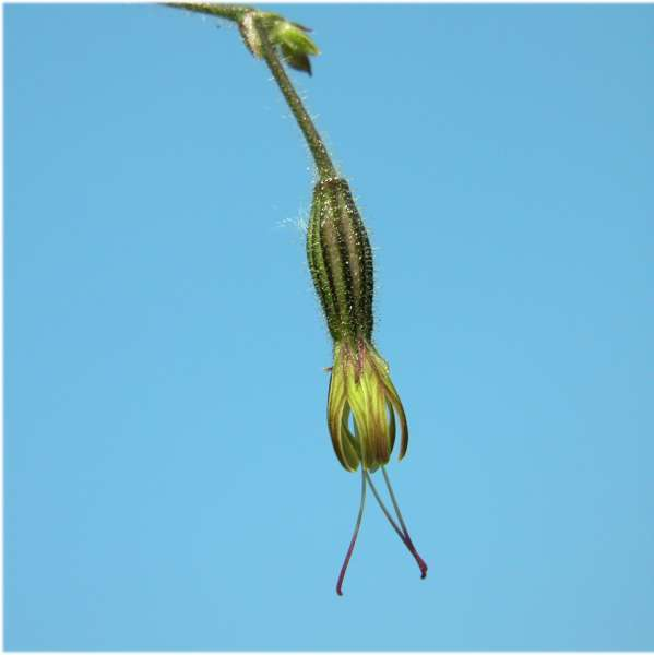 Silene nutans L. subsp. insubrica (Gaudin) Soldano