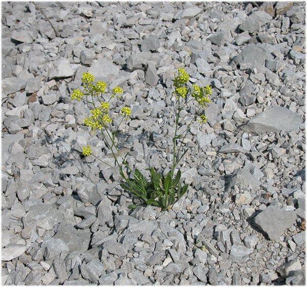 Biscutella laevigata L. subsp. raffaelliana Galasso & Banfi