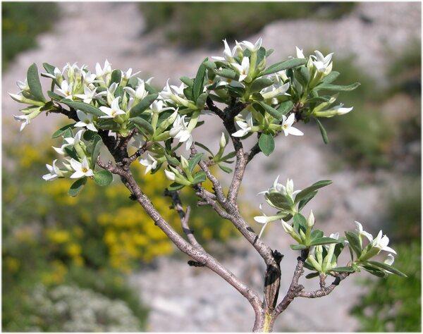 Daphne alpina L. subsp. scopoliana Urbani