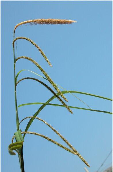 Carex pendula Huds.