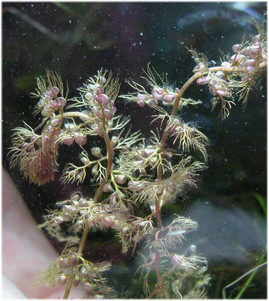 Utricularia australis R.Br.