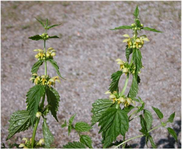 Lamium galeobdolon (L.) L. subsp. montanum (Pers.) Hayek