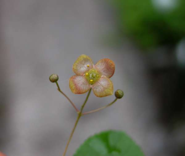 Euonymus verrucosus Scop.