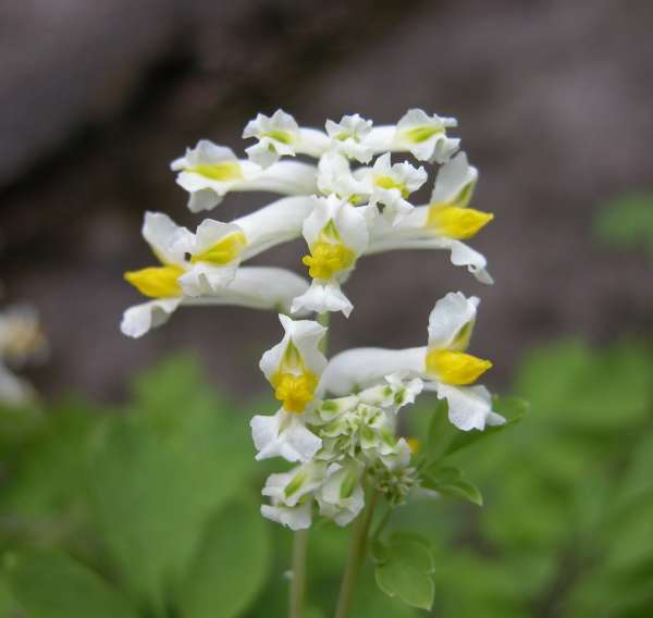 Pseudofumaria alba (Mill.) Lidén subsp. alba