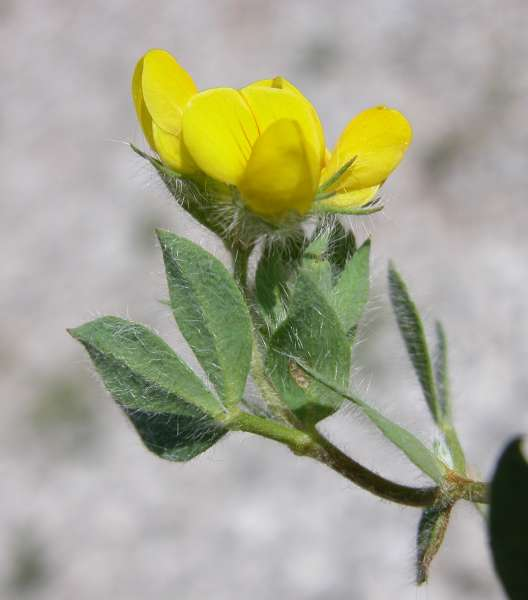 Lotus corniculatus L. subsp. delortii (Timb.-Lagr.) Nyman