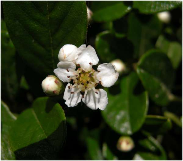 Cotoneaster humifusus Duthie ex J.H.Veitch