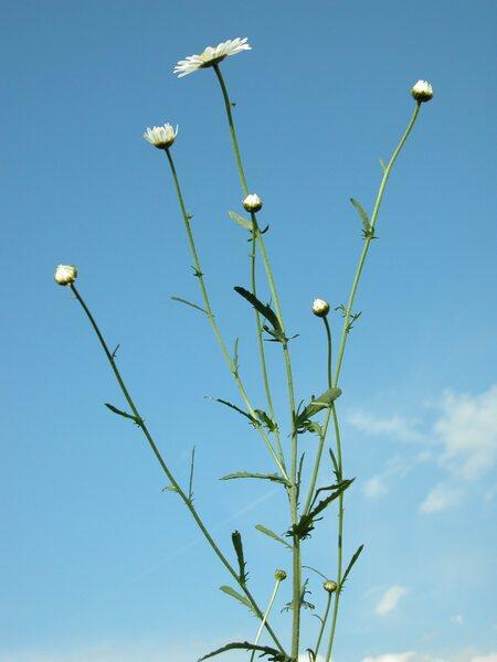 Leucanthemum vulgare (Vaill.) Lam. subsp. vulgare