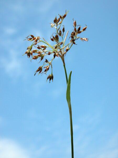 Luzula pilosa (L.) Willd.