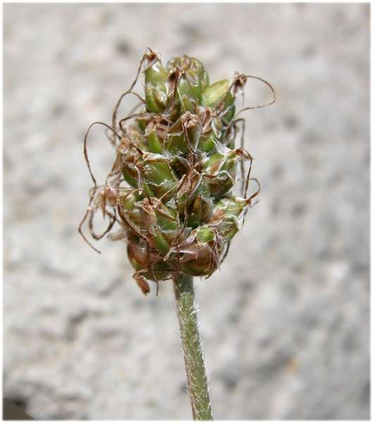 Plantago maritima L. subsp. serpentina (All.) Arcang.