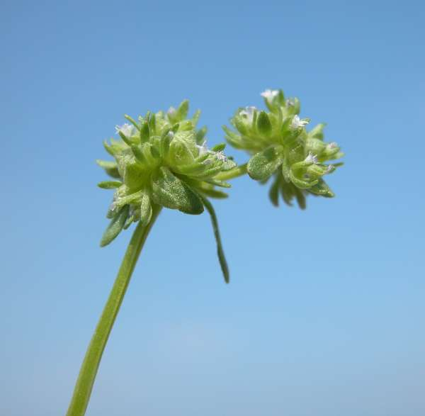 Valerianella locusta (L.) Laterr.