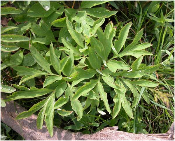 Paeonia officinalis L. subsp. banatica (Rochel) Soó