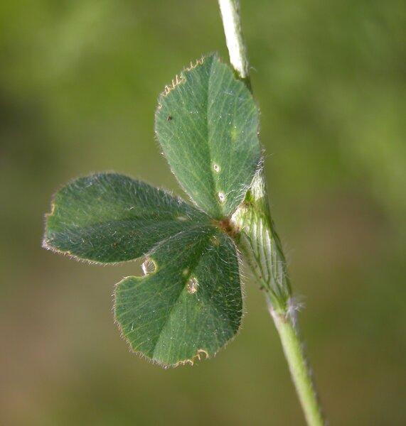 Trifolium incarnatum L. subsp. incarnatum
