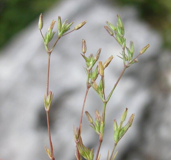 Sabulina mediterranea (Ledeb. ex Link) Rchb.