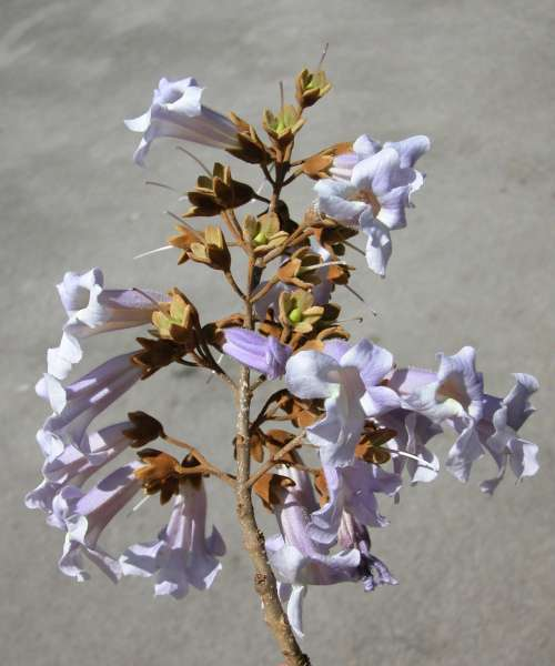 Paulownia tomentosa (Thunb.) Steud.