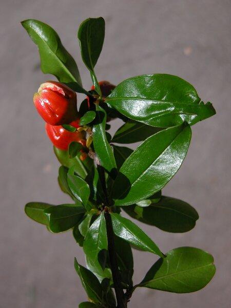 Punica granatum L. 'Flore Pleno'