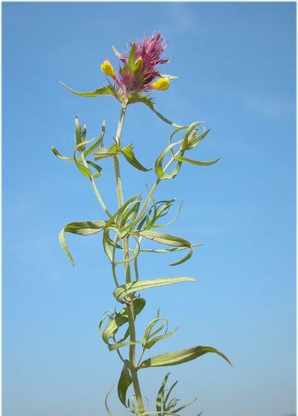 Melampyrum barbatum Waldst. & Kit. subsp. carstiense Ronniger
