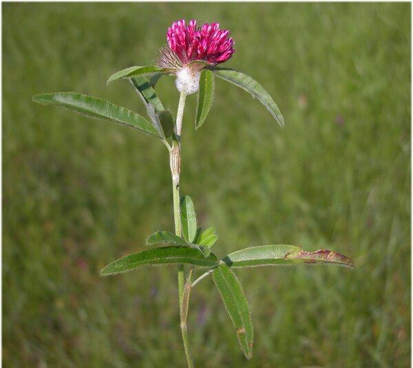 Trifolium alpestre L.