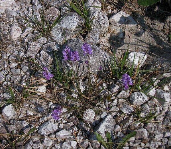 Polygala forojulensis A.Kern. subsp. carniolica (A.Kern.) Arrigoni