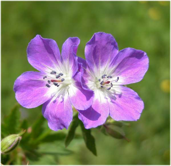 Geranium pratense L. subsp. pratense