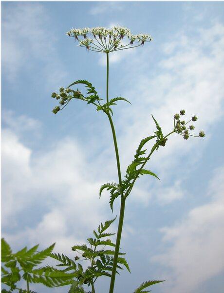 Chaerophyllum aureum L.