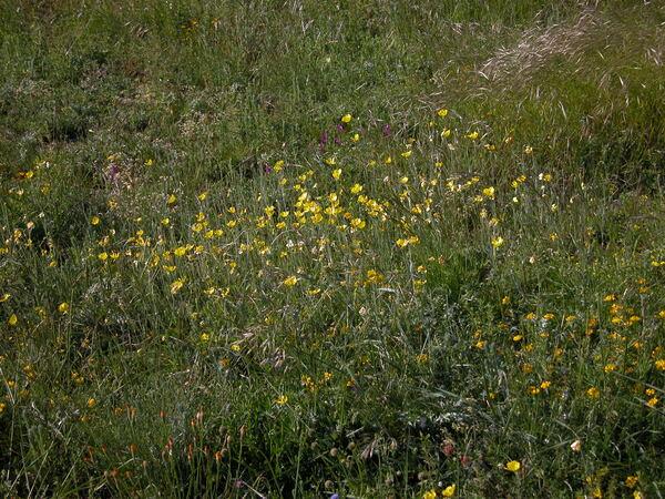 Ranunculus illyricus L.