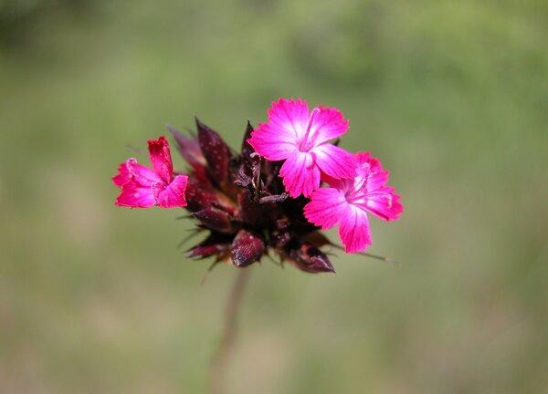 Dianthus sanguineus Vis.