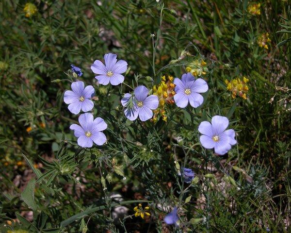 Linum tommasinii (Rchb.) Nyman