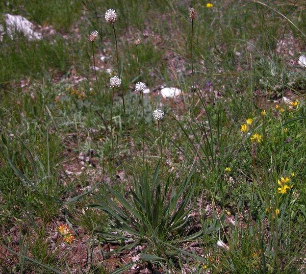 Plantago argentea Chaix subsp. liburnica Ravnik