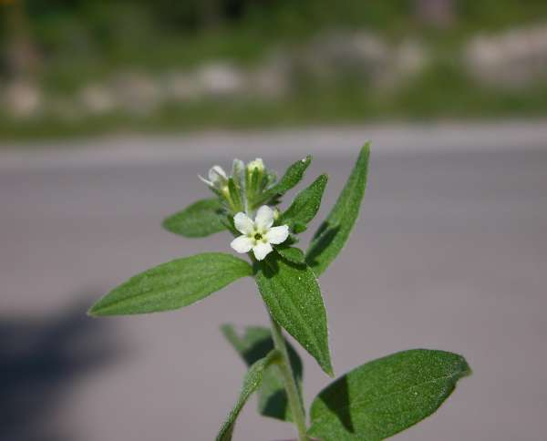 Lithospermum officinale L.