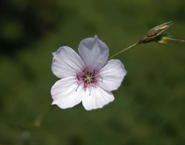 Linum tenuifolium L.