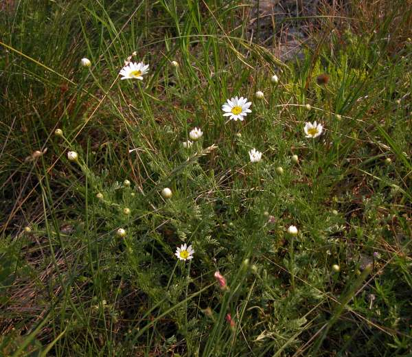 Anthemis arvensis L. subsp. arvensis