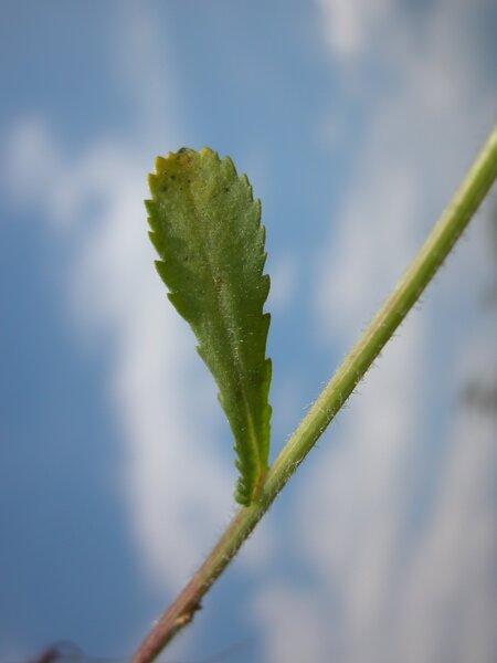 Leucanthemum ircutianum DC. subsp. ircutianum