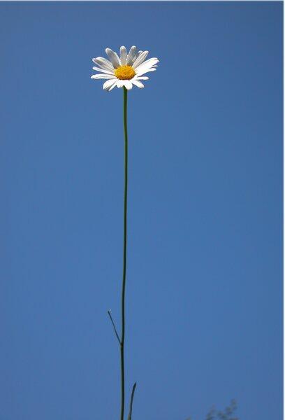 Leucanthemum sp.