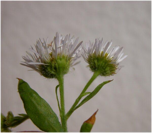 Erigeron annuus (L.) Desf. subsp. septentrionalis (Fernald & Wiegand) Wagenitz
