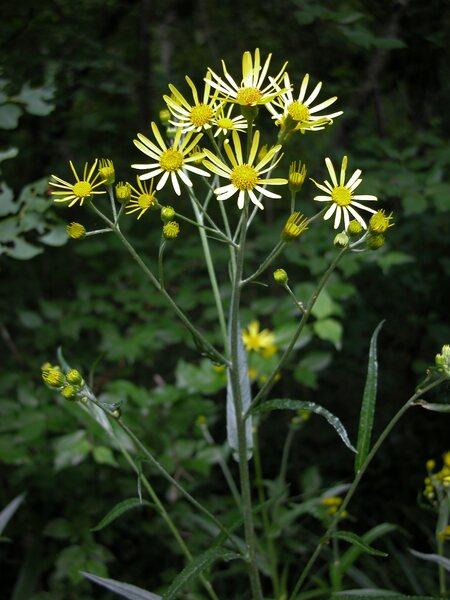 Jacobaea paludosa (L.) G.Gaertn., B.Mey. & Scherb. subsp. paludosa