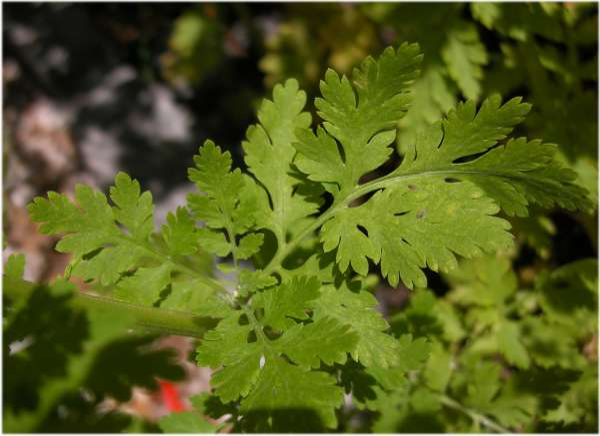 Tanacetum parthenium (L.) Sch.Bip.